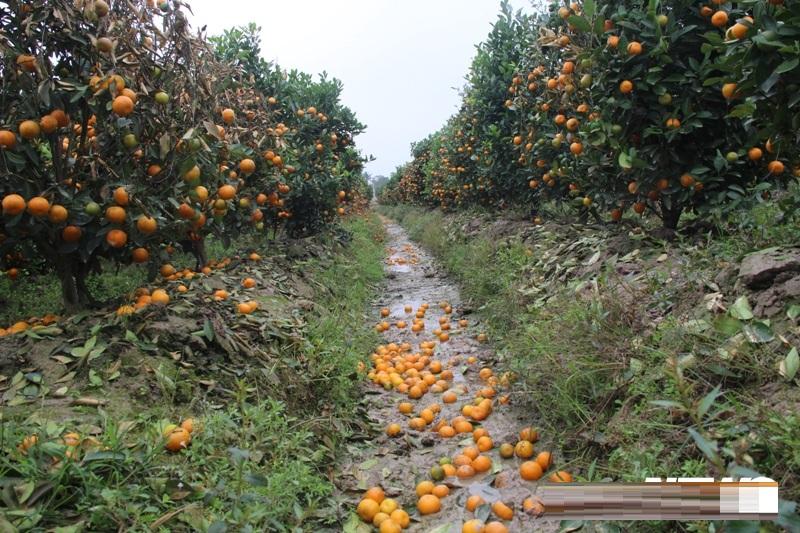 Bắt giam đối tượng phun thuốc diệt cỏ phá hoại 300 cây quất