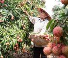 Mỹ đồng ý với vải thiều của Việt Nam