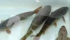 Mơ thấy cá chép đánh bao nhiêu trong xổ số miền bắc