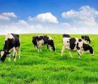 Mơ thấy bò - Giải mã nằm mơ thấy bò có ý nghĩa gì?