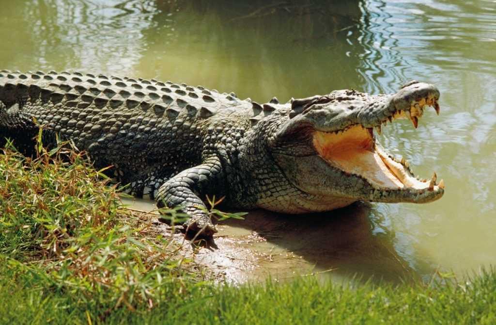 Mơ thấy cá sấu chiêm bao thấy cá sấu đánh con gì chắc ăn hôm nay?